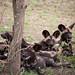 The Wild Dogs - The Serengeti