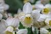 2016-03-03-0343.jpg (jbalfus) Tags: filoli daffodils flowers dof sonyilce7m2 nikkor105mm sonyflickraward gününeniyisi thebestofday