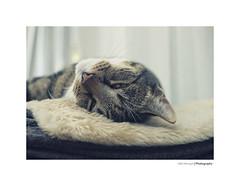 Felix the cat (*Nils aus Kiel*) Tags: katzen cats kitten face eyes nose augen animals tiere pets haustiere beautiful detail