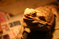 Paul The Beardie (tnorton_) Tags: lizard bearded dragon beard desert bumpy mouth eye yyj photogenic pets pet