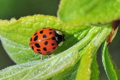 DSC_7318++ (vaninavanetti) Tags: printemps fleurs spring springtime flowers coccinelle ladybug käfer marienkäfer insectes insecte macro