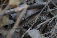 Liolaemus Lemniscatus (RabiaLatina) Tags: reptil lagarto animal salvaje wild mimetizado