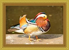 Mandarinente / Aix galericulata (Martin Volpert) Tags: mandarinente vogelparkuckersdorf mavo43 aixgalericulata anseriformes anatidae anatinae bird vogel china