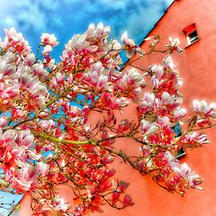 Magnolia branch (JuliSonne) Tags: magnolie pflanze natur frühling jahreszeit blüten knospen blüte outdoor leben wachsen magnolia branch spring blossom nature