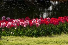Tulip Garden #2 (yamabuki***) Tags: asc7985 tulip 昭和記念公園
