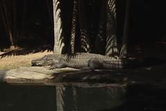 Sick of Myself (Swebbatron) Tags: australia brisbane queensland australiazoo zoo animal nature crocodile 2008 fuji radlab travel backpacking beerwah