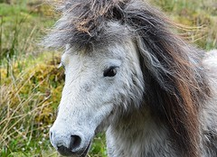 Wee cutie. (carolinejohnston2) Tags: pony mane horse animal equine pet ireland fermanagh