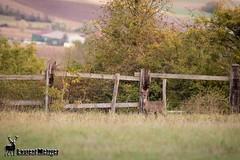 Chevrette. (suzukigsxr67700) Tags: chevreuil chevrette roedeer wildlife canon
