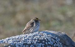 Savannah Sparrow (nickinthegarden) Tags: savannahsparrow blackiespit crescentbeach surreybccanada