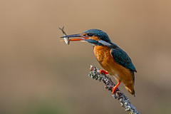 kingfisher with fish dinner (dale 1) Tags: kingfisher fish dinner colours scotland