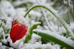 Ikka talvisemaks (anuwintschalek) Tags: nikond7000 d7k 18140vr austria niederösterreich wienerneustadt kodu home kevad frühling spring april 2017 lumi schnee snow tulp tulpe tulip garten garden aed
