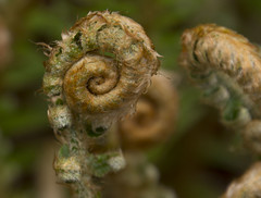 2017-04-17 Spring is rolling out! (Mary Wardell) Tags: fern ferns spring green newlife canon 60d portland oregon rhododendrongarden