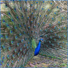 Peacock -front (Finding Chris) Tags: bentley peacock feathers blue green turquoise spines showing beautiful elaborate showy bentleywildfowl exquisite luminous chrisbarbaraarps canon60d