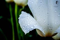 Serenity (© S. D. 2010 Photography) Tags: flower blossom tulip spring easter macro upclose detailed enhanced lr5 raind drops dew veins petals woodburn oregon