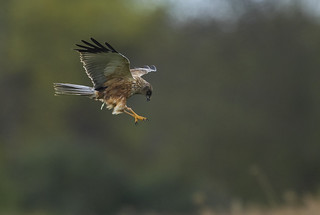 Marsh Harrier - Lunch Time!