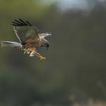 Marsh Harrier - Lunch Time! thumbnail