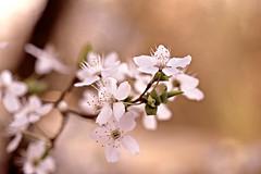 ✨ Blossom and shine! ✨ (Maria Godfrida) Tags: smileonsaturday seasonsbeauty blossoms light shine blossom closeup nature flora outdoor outside spring springtime