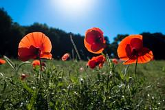 poppy (rogui10) Tags: poppy waco cameron park spring flower