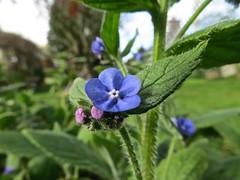 9692 Green Alkanet - Pentaglottis sempervirens (Andy - Busyyyyyyyyy) Tags: 20170417 aaa bbb blue border eee evergreen fff flower ggg greenalkanet pentaglottissempervirens ppp wildflower www