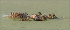 Florida Duck & Family (billkominsky ) Tags: naturethroughthelens ngc npc