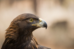 Golden Eagle (Jon David Nelson) Tags: aquilachrysaetos goldeneagle birdsofprey raptors wildlife highdesert nature education conservation