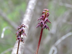 Corunastylis woollsii 3 (barryaceae) Tags: kallaroo road jervis bay national park nsw australia ahp ausorchid