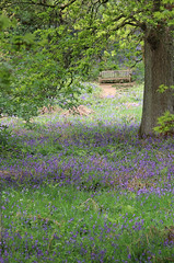 Through the bluebells (dramadiva1) Tags: canon winkworth arboretum surrey bluebells wood trees foliage flowers spring nature oak