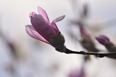 Magnolia (careth@2012) Tags: magnolia flower petals nature spring