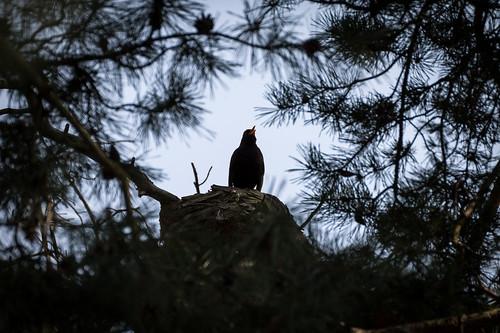 Common Blackbird - Kos černý
