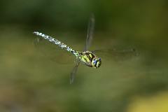 Blaugrne Mosaikjungfer (Aeshna Cyanea) 5656 (fotoflick65) Tags: linz insect inflight dra
