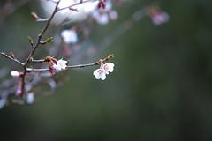 P4160942 (Feeder Wang) Tags: japan digital cherry ed olympus  f18  hakone  omd   75mm em5 onshihakonekoenpark  mzuiko