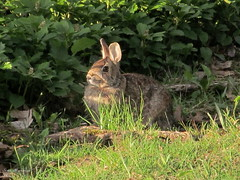 Bunny_6432 (smack53) Tags: rabbit bunny green grass animals canon hare lawn powershot creatures sx150is smack53