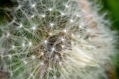Dandelion (willykatie) Tags: flower macro nature up close olympus micro zuiko omd em1 1250mm