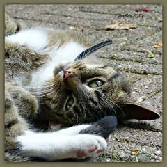Zus (Cajaflez) Tags: pet cat kat chat katze gatto huisdier zus ruby10 ruby5 ruby15