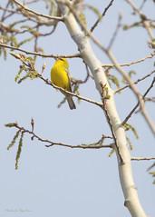 _53F7724 Blue-winged Warbler (~ Michaela Sagatova ~) Tags: yellow spring dundas bluewingedwarbler woodwarbler birdphotography vocalizing vermivorapinus dvca michaelasagatova