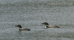 """Common Loon • <a style=""""font-size:0.8em;"""" href=""""http://www.flickr.com/photos/63501323@N07/14058725619/"""" target=""""_blank"""">View on Flickr</a>"""