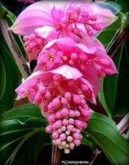 Medinilla (Pascale Jaouen Art-PCj) Tags: pink flowers rose fleurs couleurs medinilla rares pcj