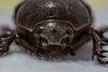 Cucarron Estercolero (coleóptero) (J. Esteban Berrio) Tags: macro beetle insects escarabajo insecto coleóptero estercolero cucarron pentaxfa100mm pentaxk3