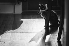 118/365 (dunnotar_02) Tags: shadow cats cat shadows abbie 365 backlighting
