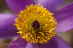 Pasque Flower (laszlofromhalifax) Tags: canada flower macro closeup novascotia ant halifax frontyard pasqueflower pulsatilla