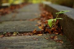 Growing in bridge (thegoonie777) Tags: bridge autumn leaves season leaf bokeh growing fx nikkor50mmf14d 50mmf14d nikkor50mmf14daf nikond700 bokehnikon