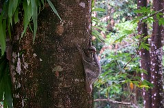 Flying Lemur, Langkawi