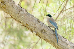Azure Winged Magpie 2 (pollylew) Tags: