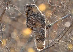 Who-cooks-for-you.... (l_dewitt) Tags: nature wildlife owl barredowl wildbirds wildlifeimages naturephotos wildbird wildlifephotos natureimages connecticutwildlife owlphotos newenglandwildlife owlimages barredowlimages barredowlphotos