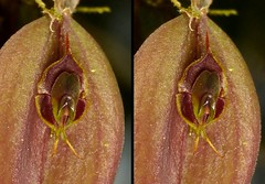 Lepanthes manabina = mastodon (Ecuador Megadiverso) Tags: naturaleza orchid flower macro southamerica nature fleur ecuador flora wildlife natur flor orchidaceae equateur orchidee blume makro equador biodiversity orqudea orchidea biodiversidad sdamerika neotropical neotropics taxonomy:family=orchidaceae lepanthesmastodon lepanthesmanabina andreaskay