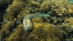 Beige & Orange Spotted Seacumber (garyeverettdavis) Tags: coral underwater wildlife southpacific papuanewguinea invertebrate samaraiisland dekadeka