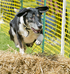 Dog jumps over hay hurdle (Rayonick) Tags: dog edinburgh meadows dash doggy 2014 rayonick