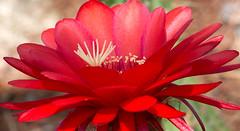 Red Echinopsis Flower (ksblack99) Tags: desertbotanicalgarden phoenix arizona garden red echinopsis cactus flower