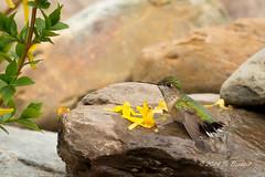 Calliope Hummginbird Bathing (2014-05-18: 3497) (bechtelsf) Tags: nikon hummingbird britishcolumbia workshop bathing cranbrook calliope d610 nikon80400mm bullriverguestranch gerlachnaturephotography