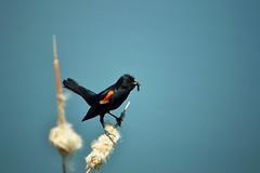 red-winged black bird with food [explored] (heartinhawaii) Tags: bird redwingedblackbird birdwithgrub eatingbird nature wildlife bokeh colorado adamscounty grandviewponds summer nikond3100 flickrlicensing